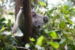 koala actually awake