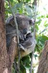 koala sleeping as usual