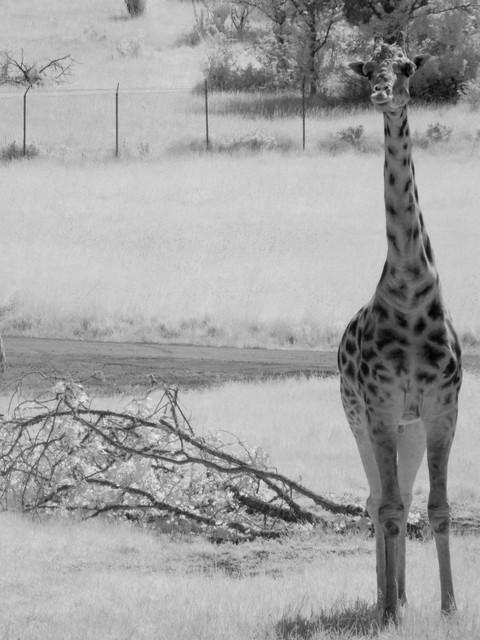 wl safari-01